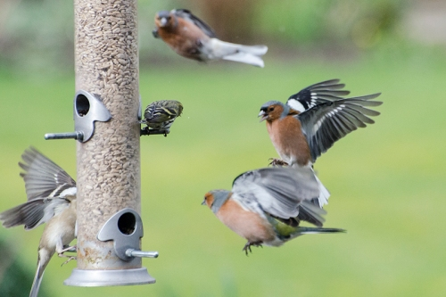 two chaffinches incoming