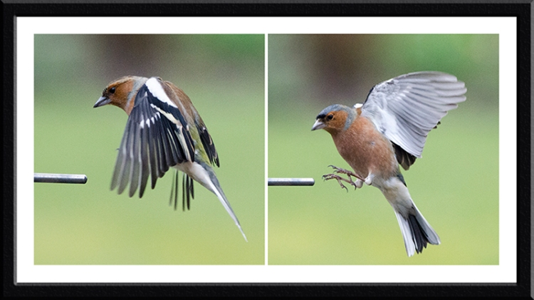 two chaffinches landing