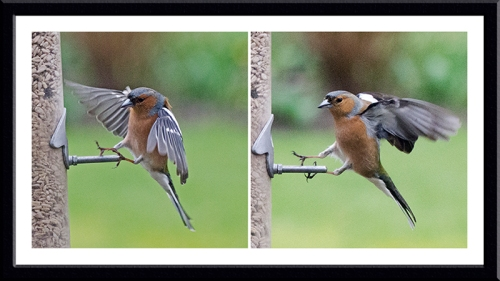 two landing chaffinches