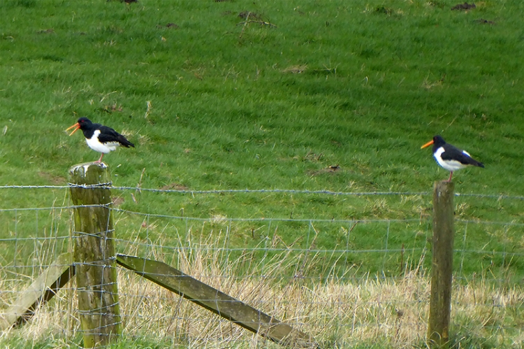 two oyster catchers on posts