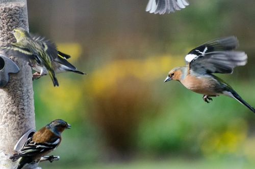 two quizzical chaffinches