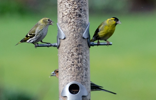 two siskins after the hawk
