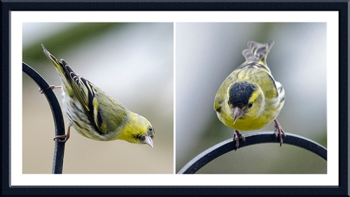 two siskins on pole