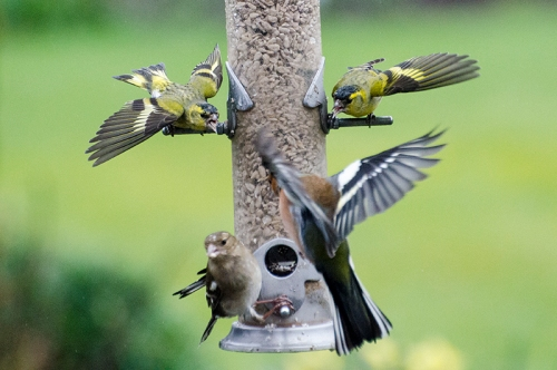 two siskins shout at a chaffinch