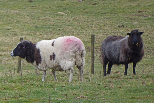varied sheep