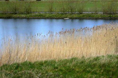 watchree bird pond reeds