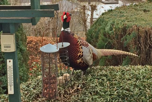 whitaside pheasant