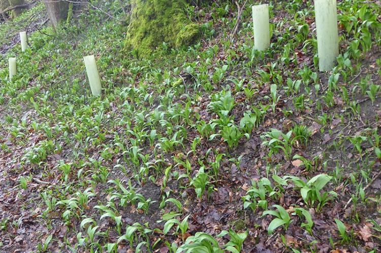 wild garlic shoots