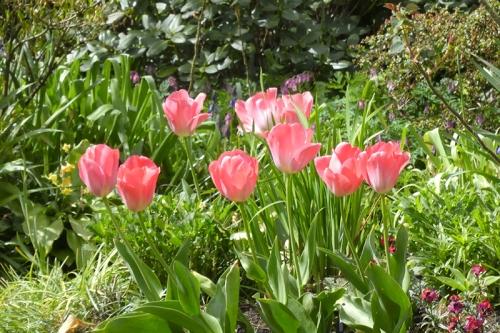 8 tulips