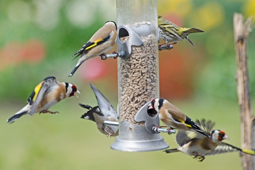 all action goldfinches