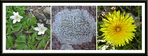 anemone. script lichen, dandelion