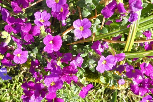 aubretia red