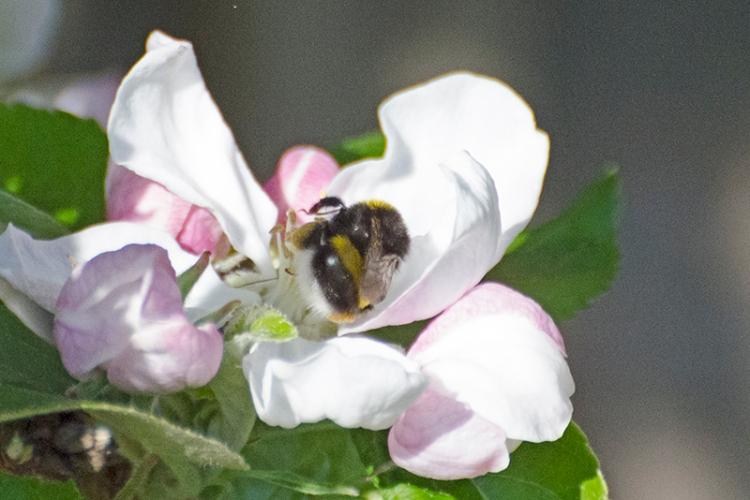 bee on apple