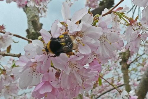 bee on cherry