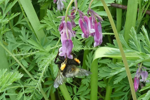 bee on dicentra