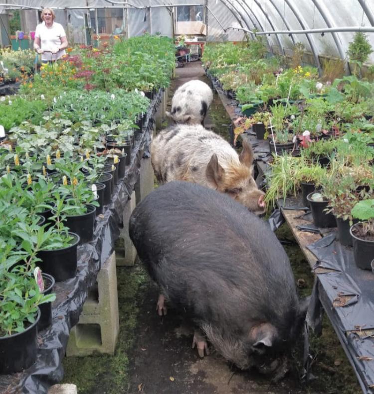 big pigs