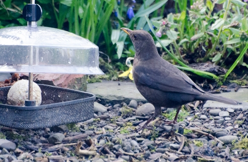 blackbird and fat ball