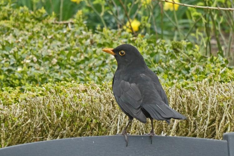 blackbird on chair back
