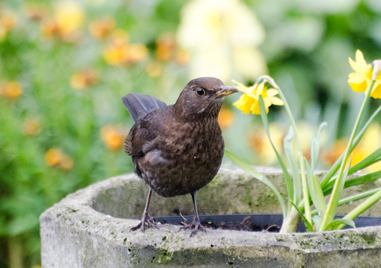 blackbird on chimney