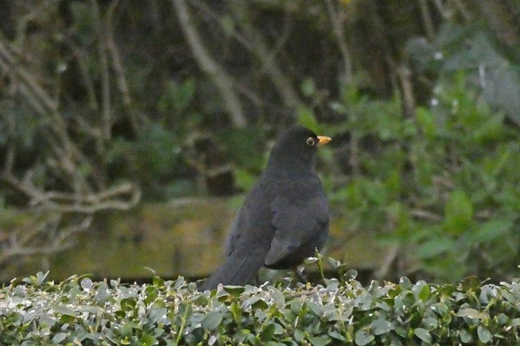 blackbird on hedge
