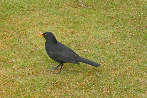 blackbird on mossy lawn