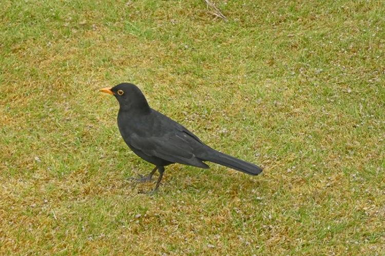 blackbird on mossy lawn