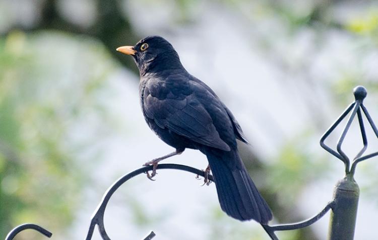 blackbird silent
