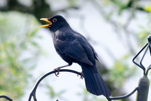 blackbird speaking