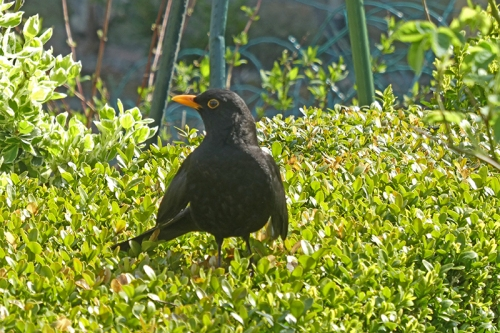 blackbird sunning on hedge