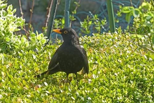 blackbird sunning on hedge