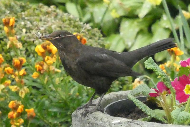 blackbird wirth nest material