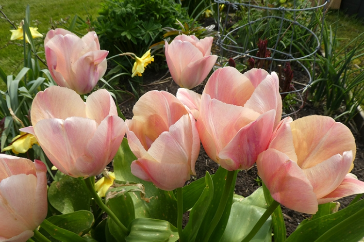 blowsy pink tulips