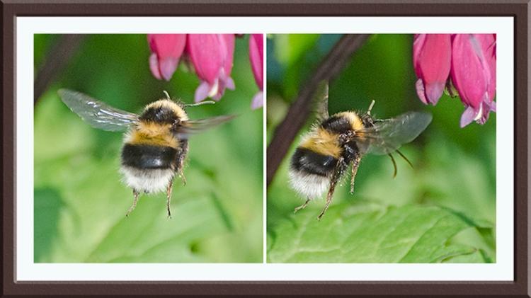 bum of the flightle bee