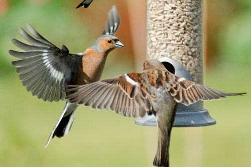 chaffinch abusing sparrow