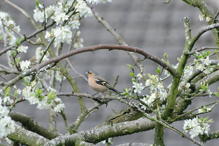 chaffinch among the blossom