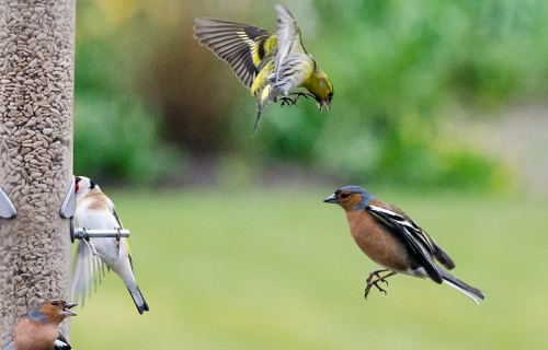 chaffinch in busy scene