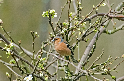 chaffinch in plum buds