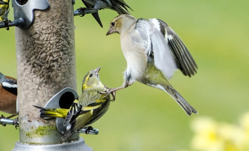 chaffinch kicking siskin
