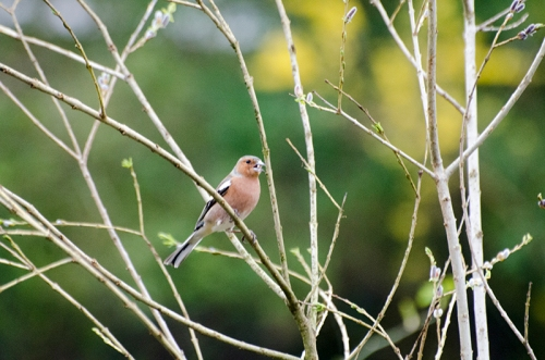 chaffinch on bogus tree