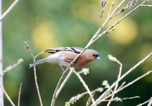 chaffinch on fake tree