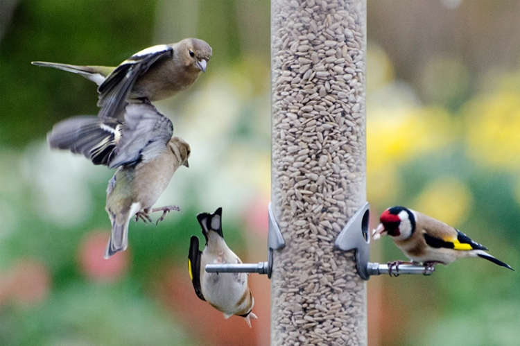 chaffinch pile up