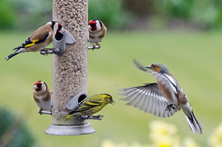 chaffinch waving at feeder
