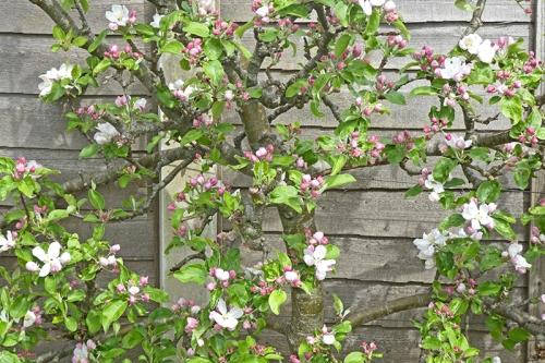 Charles ross apple blossom