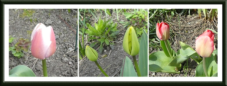 chilly tulips