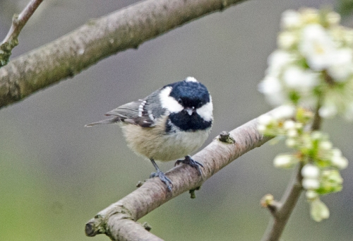 coal tit in plum tree