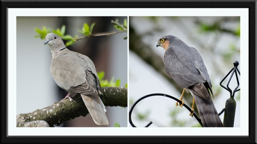 collared dove and sparrowhawk panel