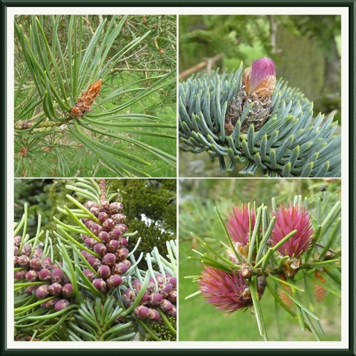 conifers blooming