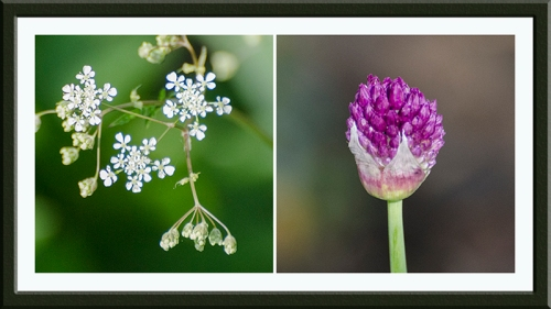 cow parsley and allium