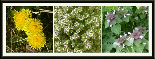 dandelion, scurvy grass and nettle