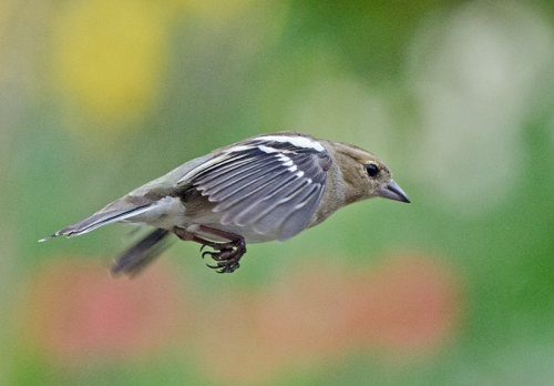 determined flying chaffinch